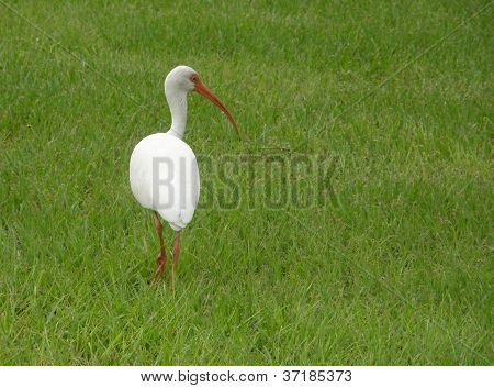 White Ibis walking in the grass in Key Largo, Florida, looking back at the viewer poster