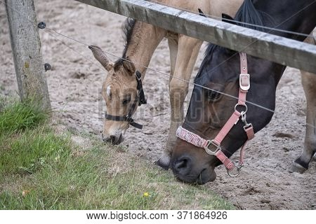 Close-up Of A Small Yellow Foal, They Eat Grass, Focus On The Foal. During The Day With A Rural Land