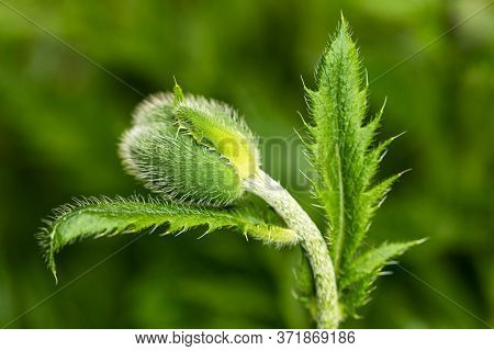 Green Poppy On A Green Natural Background. Bud Of A Young Poppy. A Closeup Of A Green Poppy Bud. You