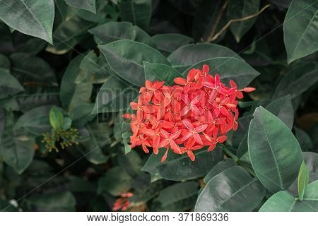Beautiful Red Spike Flower. King Ixora Blooming (ixora Chinensis). Rubiaceae Flower.ixora Flower. Ix