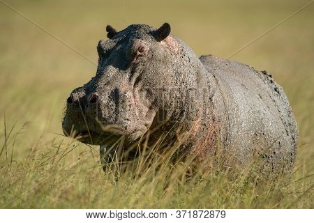 Hippo Stands Eyeing Camera In Tall Grass