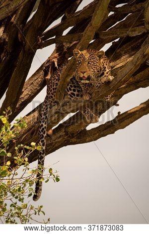 Leopard Lies In Euphorbia Tree Looking Down