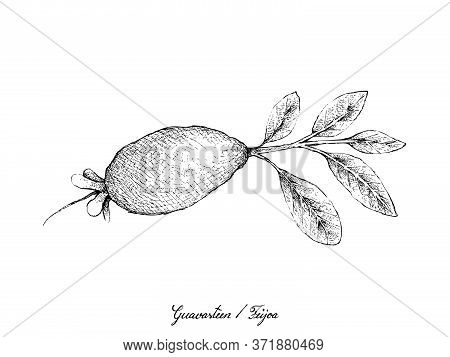 Tropical Fruits, Illustration Of Hand Drawn Sketch Guavasteen, Feijoa Or Acca Sellowiana Fruit Isola