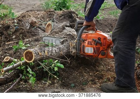A Man Using A Chainsaw Cuts Trees Into Small Firewood In A Garden, Park Or Square. Sanitary Pruning