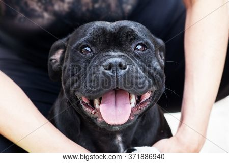 Adorable Dog Of Staffordshire Bull Terrier Breed, Widely Smiling With Tongue Out, Sitting In Human H