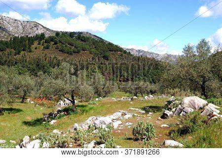 View Across The Olive Groves Towards The Mountains, Refugio De Juanar, Near Marbella, Costa Del Sol,
