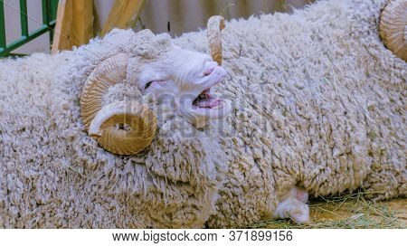 Portrait Of Cute Funny Fluffy Ram With Horns At Agricultural Animal Exhibition. Farming, Agriculture