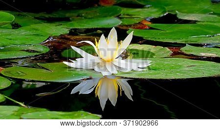 Beautiful White Lotus Flower With Golden Stamens Lies On Large Green Leaves And Reflected In The Wat