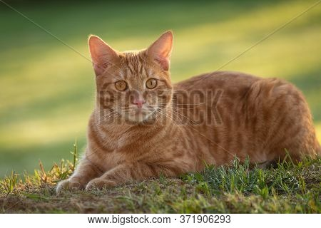 Portrait Beautiful Red Cat Lies In Grass On The Green Background