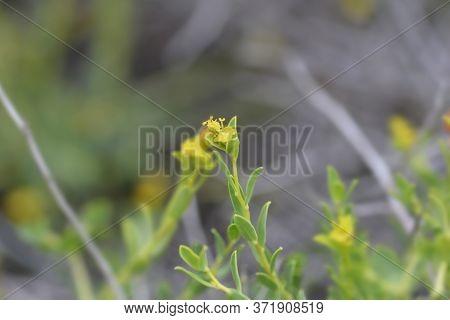 Spiny Spurge Small Flower - Latin Name - Euphorbia Spinosa