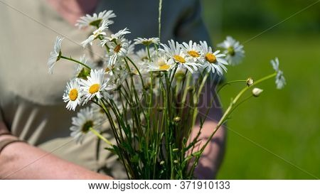 Close-up, An Adult Woman Holding A Bouquet Of Field Daisies. A Woman On A Warm Summer Day Gathered A