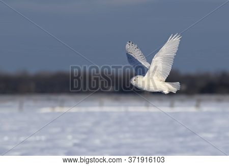 Snowy Owl (bubo Scandiacus) Male Flies Low Hunting Over An Open Sunny Snowy Cornfield In Ottawa, Can