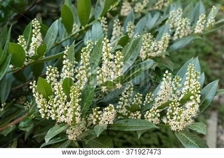 Flowering Cherry Laurel In Springtime, A Poisonous Evergreen Shrub In Ornamental Garden