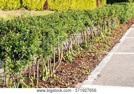 Privet Hedge At A Parking Lot With Shrubs With Leafless Stems In A Row