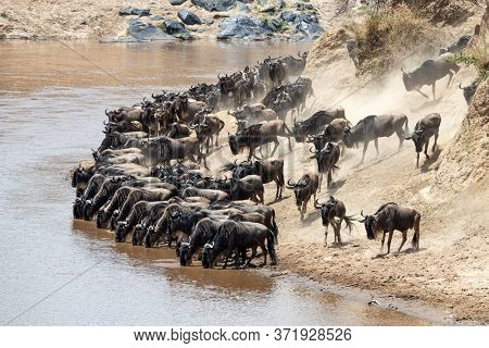Wildebeest drink from the Mara river. Pressure from behind will result in a frenzied river crossing. Annual Great Migration in the Masai Mara, Kenya.