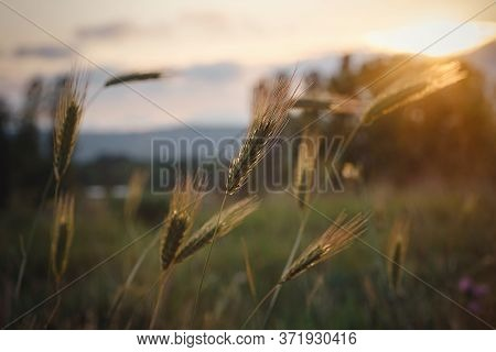 Grass Spikelets At Sunset In The Field, Close Up
