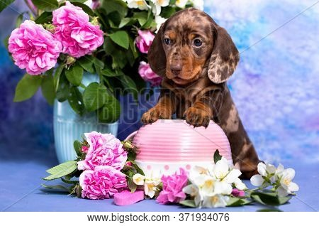dachshund puppy brown tan marble color and bouquet of pink roses