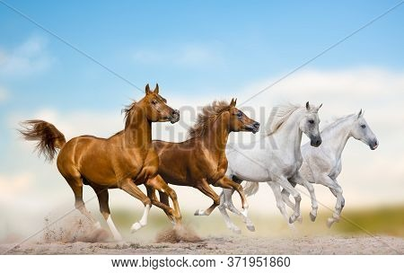 Wild Arabian Stallions Running Together In Herd On A Wild. Purebred Arabian Horses Galloping In Wild