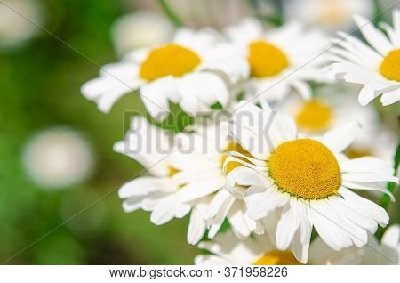 Sunny Floral Background Of White Flying Daisies