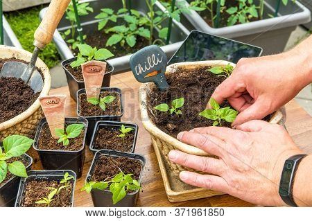Growing Chili Peppers. The Gardener Bets Chili. Pepper Seedlings Growing In Black Clay. Housework In