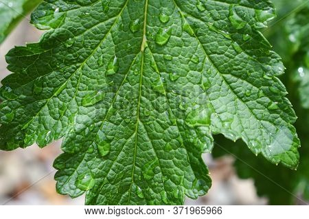 Close Up Of Green Leaf On Plant With Water Droplets