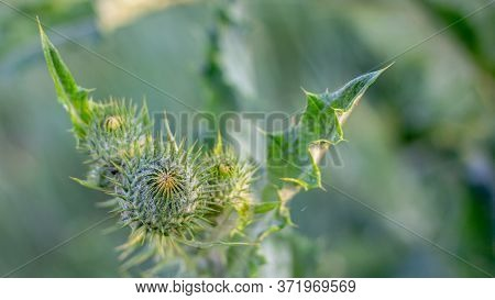 Arctium Lappa. Weed Plant, Which Is Used In Medicine, And Cosmetics