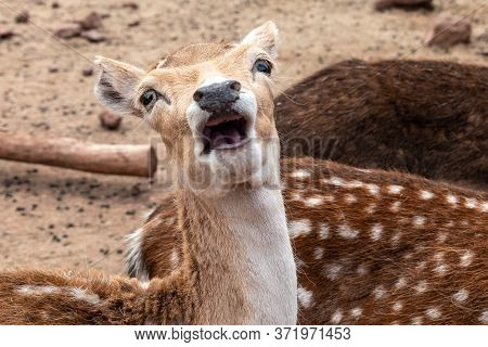 Close Up Of A Deer Making A Funny Face