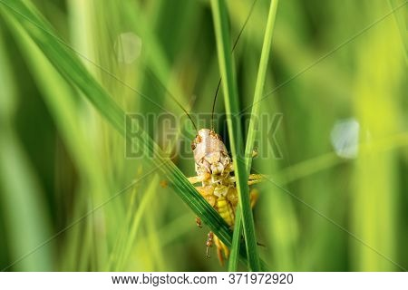 Brown Grasshopper On A Blade Of Grass. Photo In Front. Natural Green Background. Close-up.