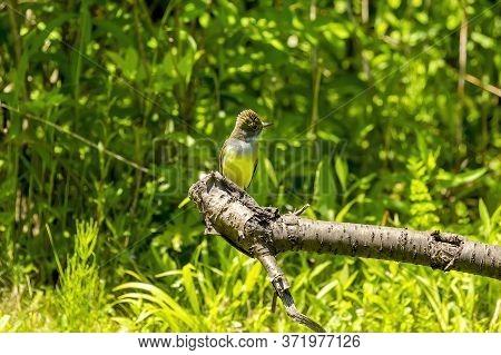 A Great Crested Flycatcher Sits On A Branch Og Scrub Near The Nest