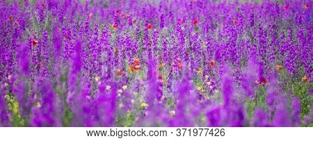 Banner of flowering field with Rocket Larkspur (Consolida ambigua). Purple Larkspur (Consolida orientalis) flowering