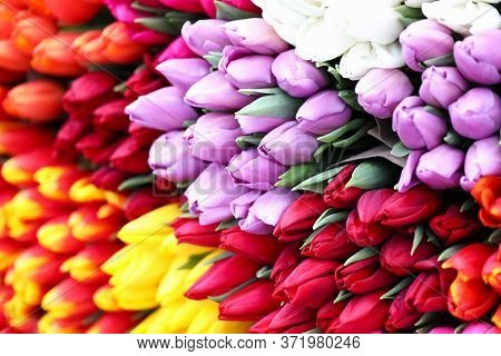 Different Types Tulips, Bright Spring Flowers. Expected Floral Present. Growing Tulips In Quarantine