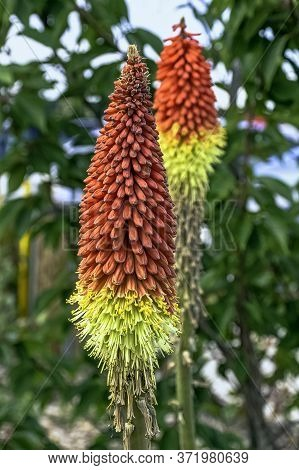 Kniphofia Hirsuta Also Called Tritoma, Red Hot Poker, Torch Lily, Knofflers, Traffic Lights Or Poker