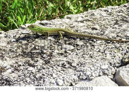 Green Oriental Garden Lizard, Eastern Garden Lizard Or Changeable Lizard On The Rock Against Green B