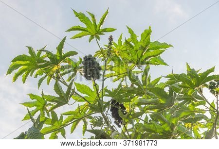 Castor Plant (ricinus Communis L.). Popularly Known As Castor, Castor Bean, Tick, Tick And Castor, I