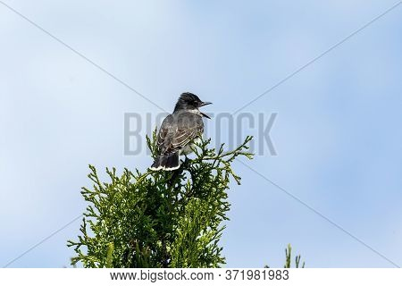 The Eastern Kingbird (tyrannus Tyrannus) Is A Large Tyrant Flycatcher Native To North America.