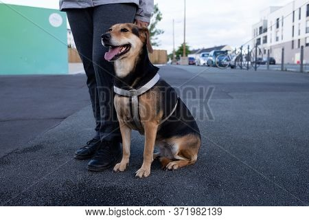 Owner And Beagle Dog With Leash Walking , Companion Dog Seat On The Street