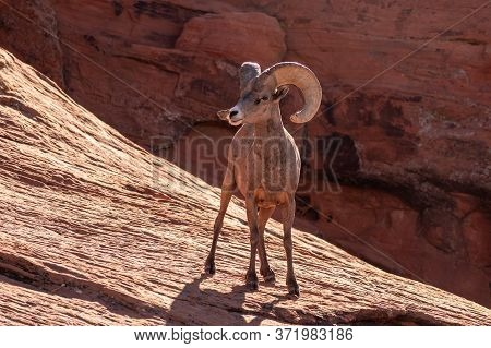 Bighorn Sheep Standing Up On A Rock