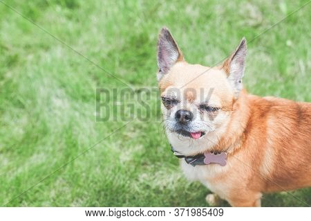 Close-up Portrait Of Ginger Chihuahua, Green Lawn, Place For Text