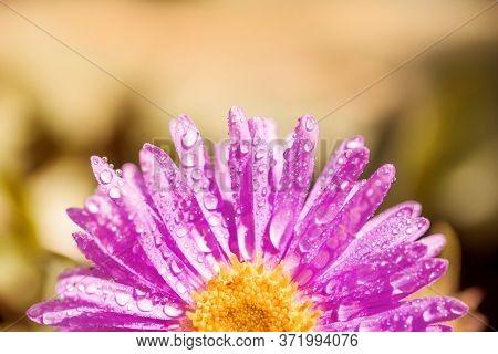 Half A Purple Flower. Petals After The Rain. Beautiful Summer Card.pink-purple Gerbera Flower With D