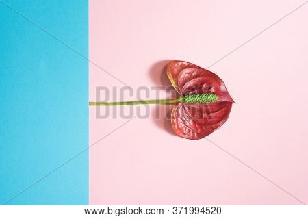 Anthurium Red Flower On The Pink And Blue Background.