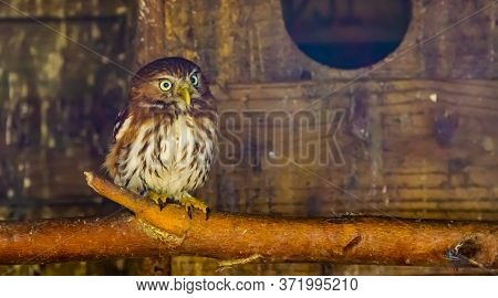 Closeup Portrait Of A Boreal Owl, Bird Specie From Europe
