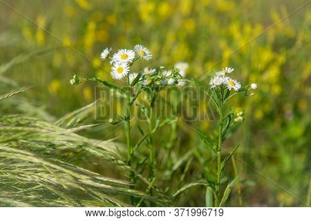 Wild Daisies In A Bright Summer Meadow In Central New Jersey.