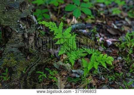 Young Ferns On The Forest Floor Of This Central New Jersey Woodlands.