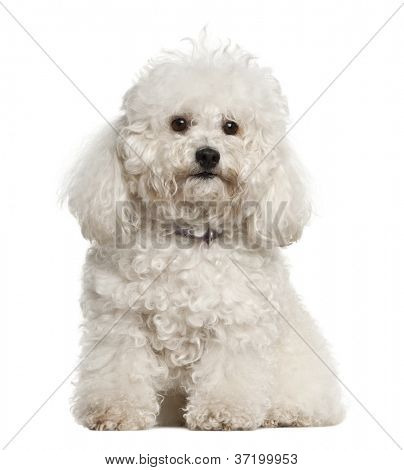 Bolonka, 4 years old, sitting against white background