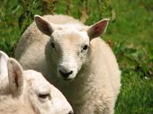 Animal portrait of a growing lamb with glimpse of an older sheep in the foreground poster