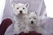 Two adorable West Highland White Terriers in a chair against a white background. poster