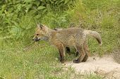 Red fox pup near his den in Northern Minnesota poster