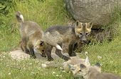 Red fox pups playing at the entrance to den poster