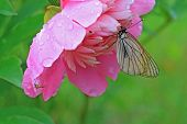 butterfly is under flower to hide from rain poster