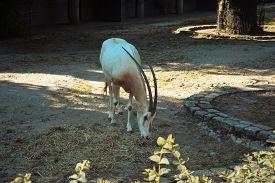Longhorn Oryx Antelope Eats Hay In The Yard. Berlin. Germany